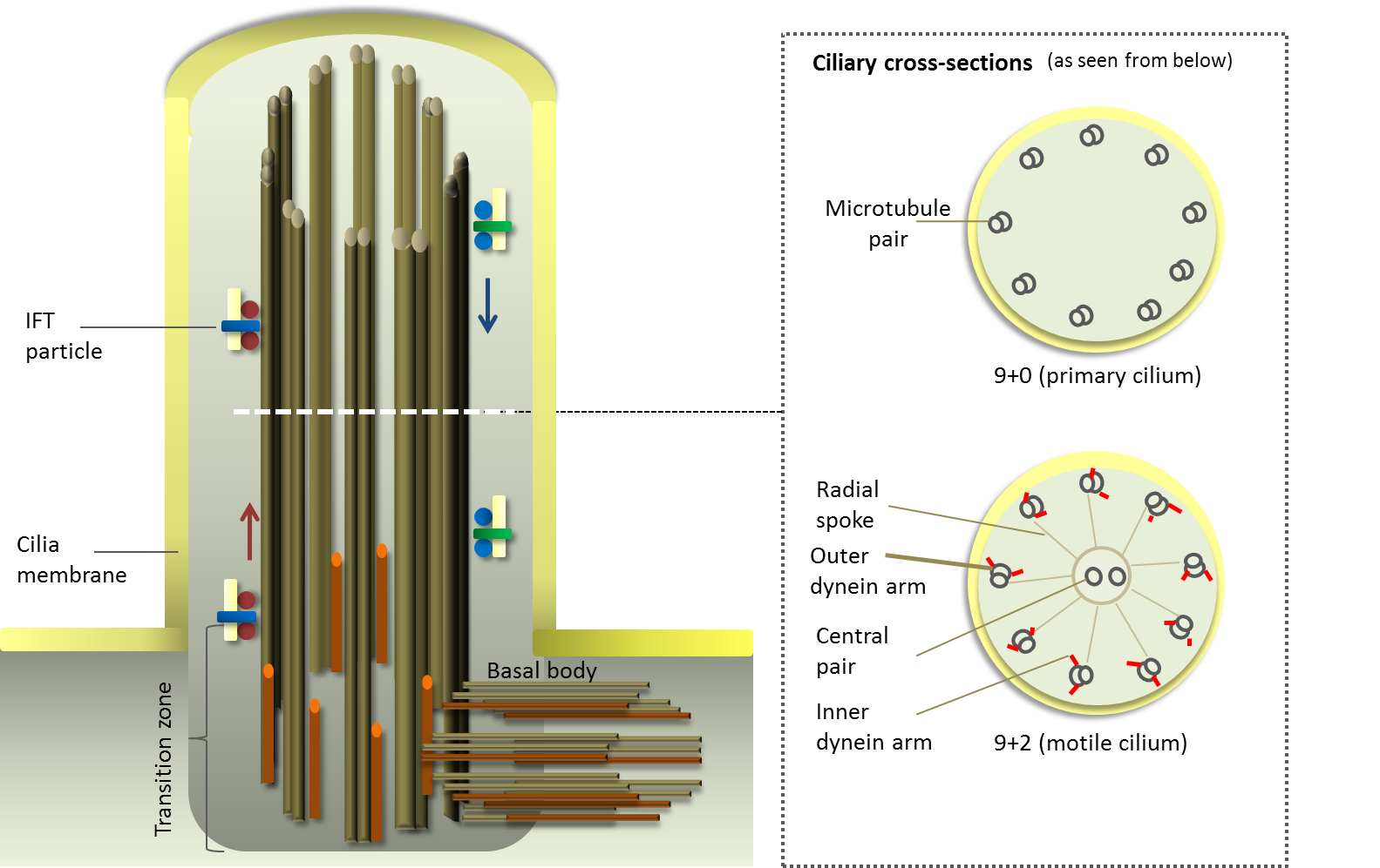 Cilium structure